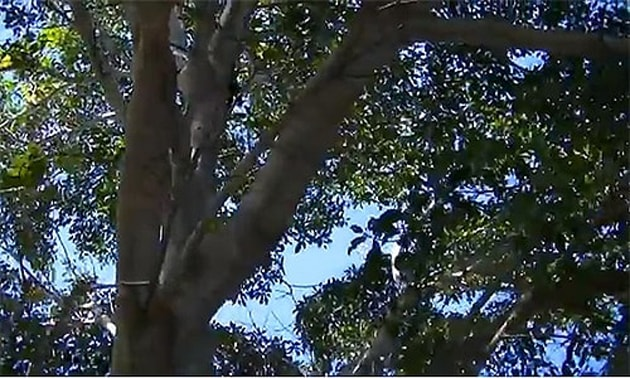 Gameleira (Ficus doliaria)