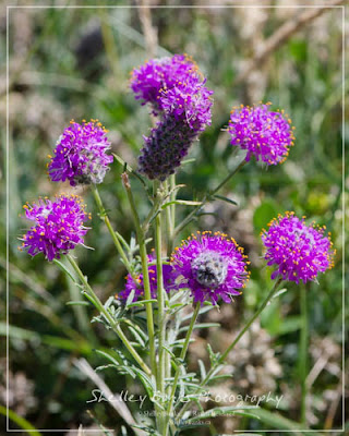 Purple Prairie-Clover. Copyright © Shelley Banks, all rights reserved.