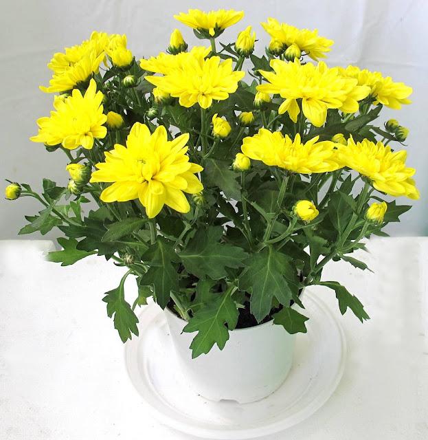 cách chăm sóc hoa cúc vàng