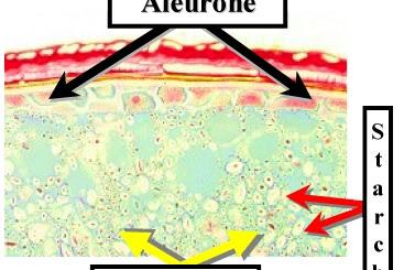 Aleuron Adalah - Kamus Biologi Online