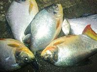 Cara Budidaya Ikan Bawal di Kolam Terpal untuk Pemula Agar Berhasil