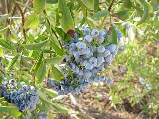 5. Blue-Elderberry buah sehat nyaman dan kuat minuman sehat alami untuk diet