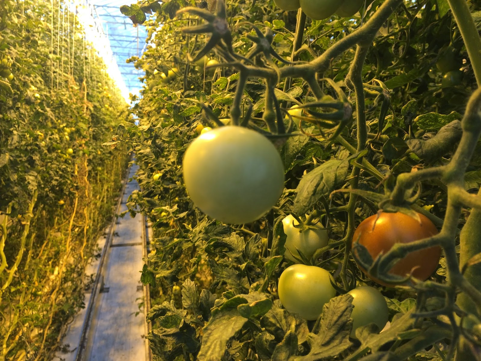 Tomatoes growing at the Fridheimar greenhouse, Iceland
