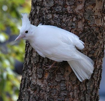 Bluejay | A-Z List of 125 Rare Albino Animals [Pics]