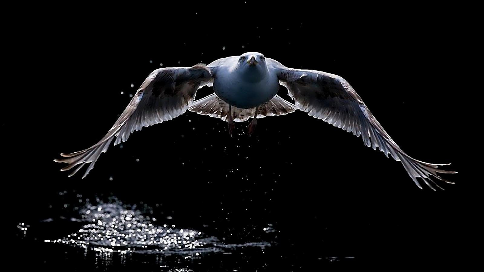 Birds hd wallpapers wallpaper202 - Animal black background wallpaper ...