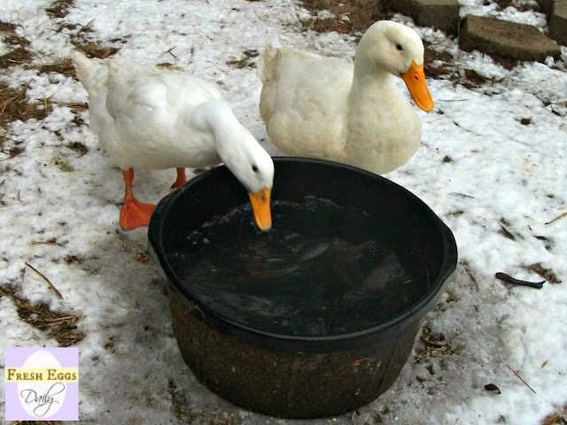 Five Easy Ways To Keep Your Chickens Water From Freezing