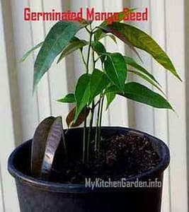 Polyembryonic seedlings