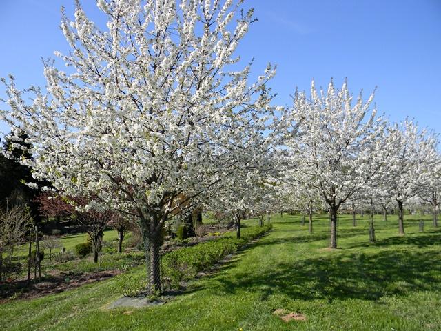 W Wojsławicach hoduje się stare odmiany czereśni.