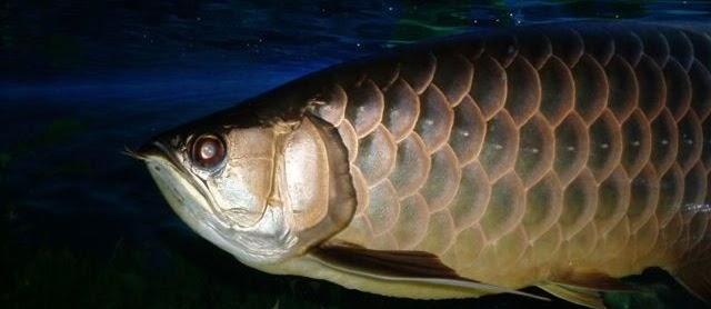 Gambar Ikan Arwana Irian yang Cantik dan Harga Mahal