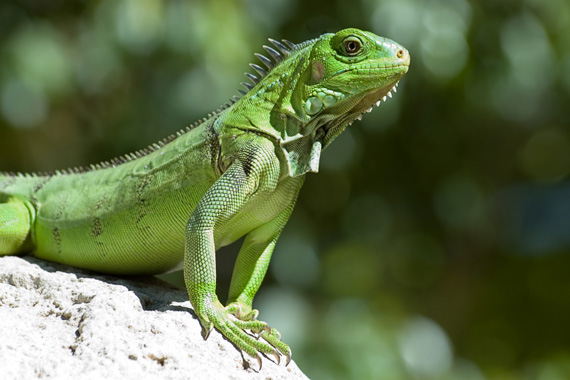 87 Koleksi Contoh Gambar Hewan Reptil Gratis Terbaru
