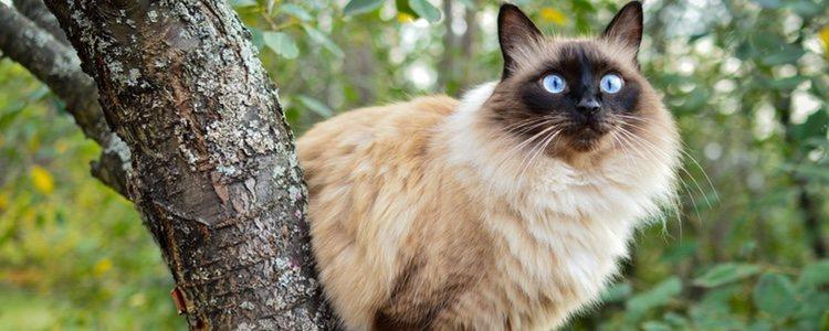 BALINESE CAT - Best Cat Breeds