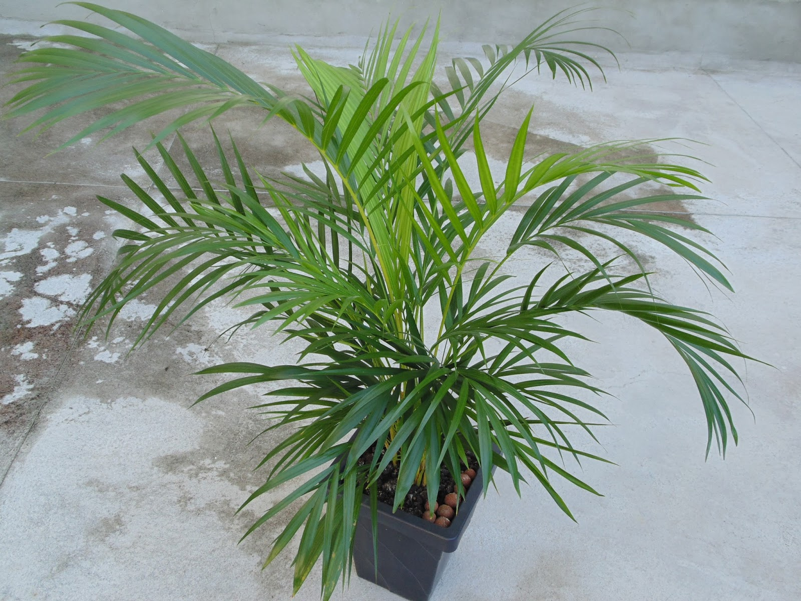 Plant photos for free areca palm dypsis lutescens for Pictures of areca palm plants