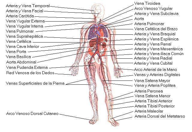 Ciencias de Joseleg: 19 SISTEMA CIRCULATORIO HUMANO