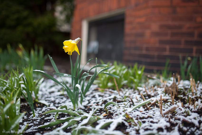 Portland, Maine USA April 2016 yellow daffodil flower with dusting of snow on Vaughan Street in the West End. Photo by Corey Templeton.