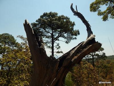 El árbol en el Cerro de Tequila by QuercusMx