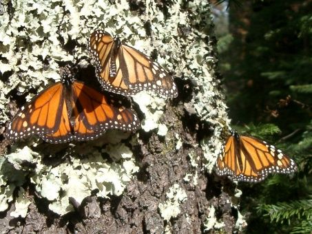 Cambio climático afecta migración de mariposa monarca