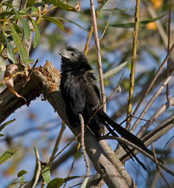 Groove-billed Ani in Encinitas, San Diego County, California November 2017