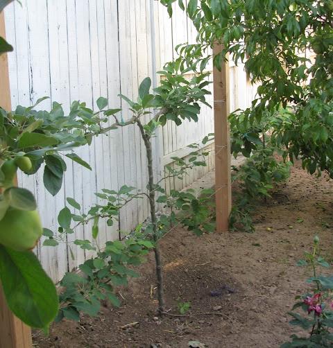 Potager Garden Blogs: Homestead Revival: Espalier Fruit Trees For Potager Gardens