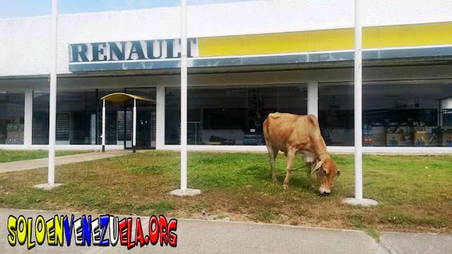 Renault ahora dejó de tener carros y tiene vacas