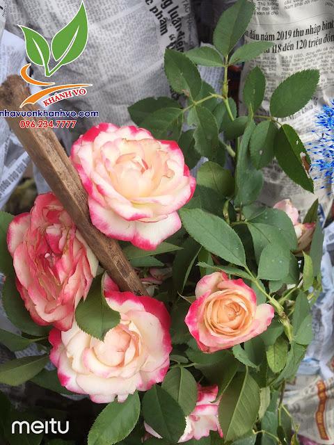 Cây hoa hồng cổ - tree rose - cực sai hoa - đẹp nghệ thuật Dc2df3730091e2cfbb80_result
