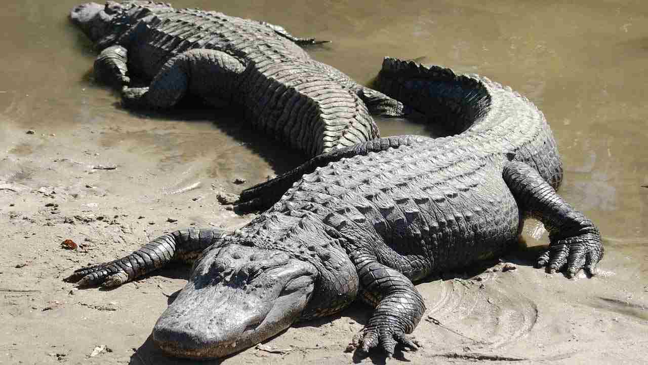 gambar alligator