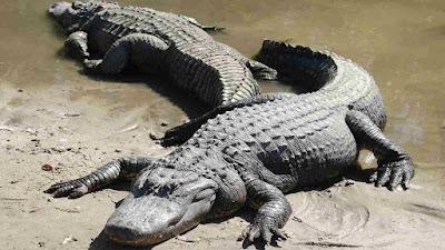 gambar alligator amerika