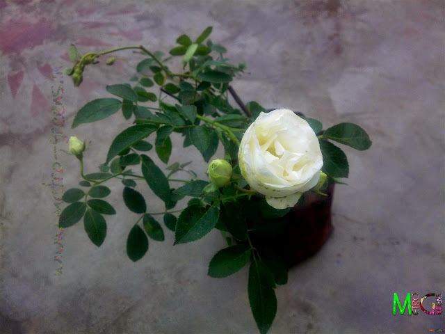 Metro Greens: Miniature Roses-White