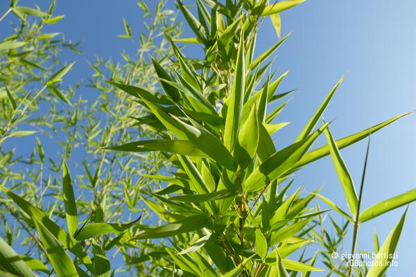 Fotografia di canne di bambù