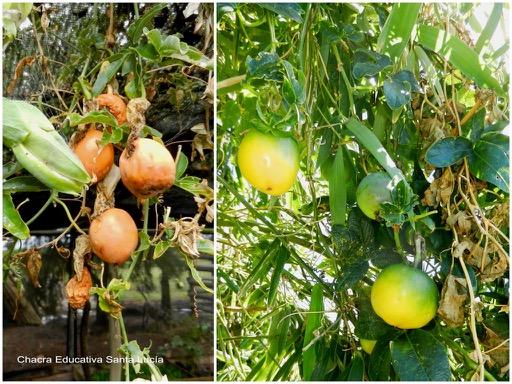Frutos maduros del mburucuyá / Frutos madurando - Chacra Educativa Santa Lucía