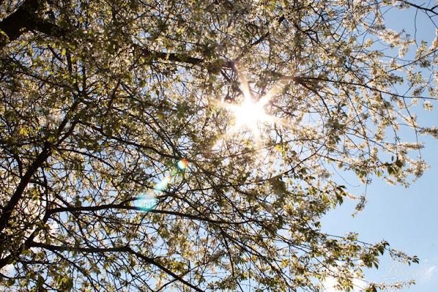 Baumkrone mit durchscheinender Sonne