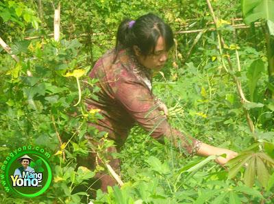 FOTO 2 :   Ngundeur daun kacang panjang dan daun kacang panjang.