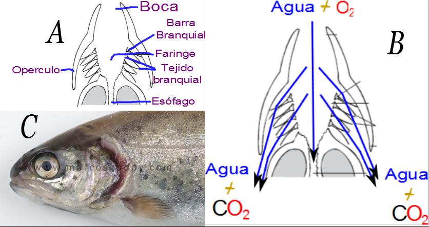 Ciencias de Joseleg: 10 SISTEMAS DE INTERCAMBIO DE GASES EN LOS ...