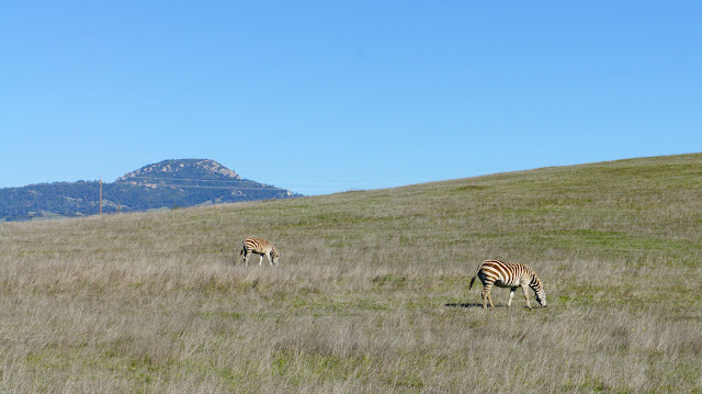Zebras living in California's Central Coast. San Simeon.
