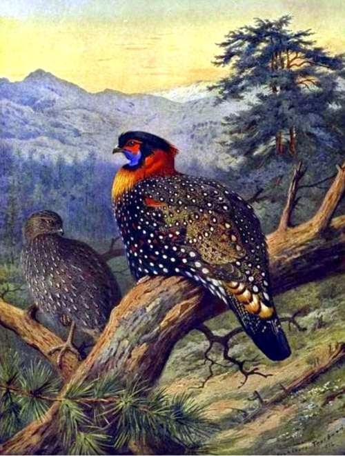 Indian birds - Tragopan melanocephalus