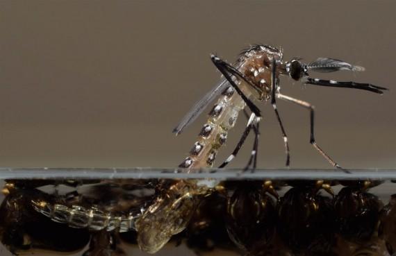 Las pupas de los mosquitos genéticamente desarrollados emergen