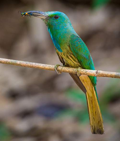Birds of India - Picture of Blue-bearded bee-eater - Nyctyornis athertoni