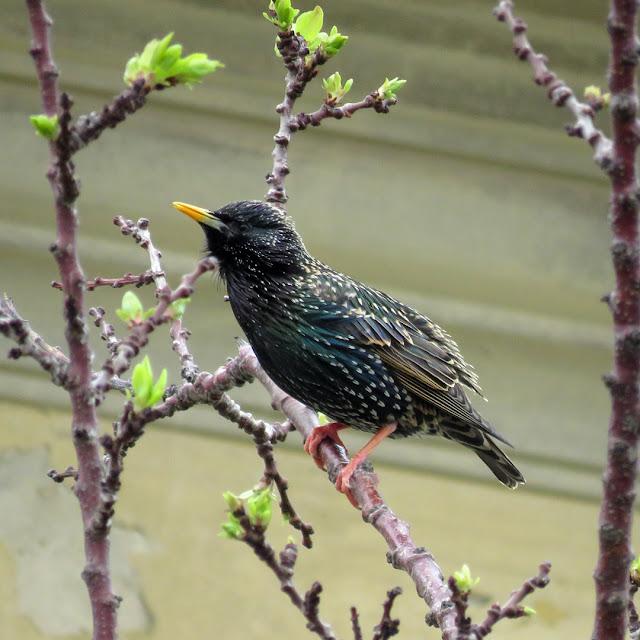 A starling on a tree, Spianata del Molo Mediceo, Livorno