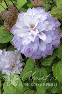 http://www.clematis.com.pl/ru/encyklopedia?view=plant&plantid=325&searchc=&Itemid=399&page=0&stype=asc&onpage=9999