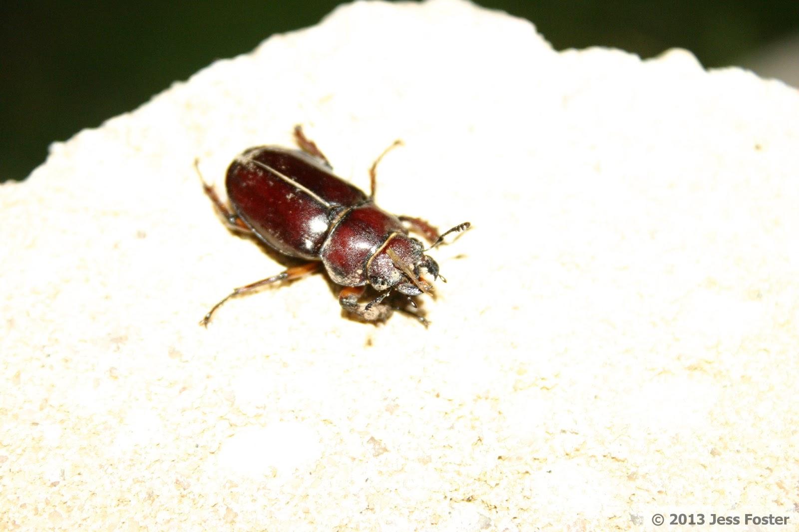 Sluggin' Along: Reddish-brown Stag Beetle