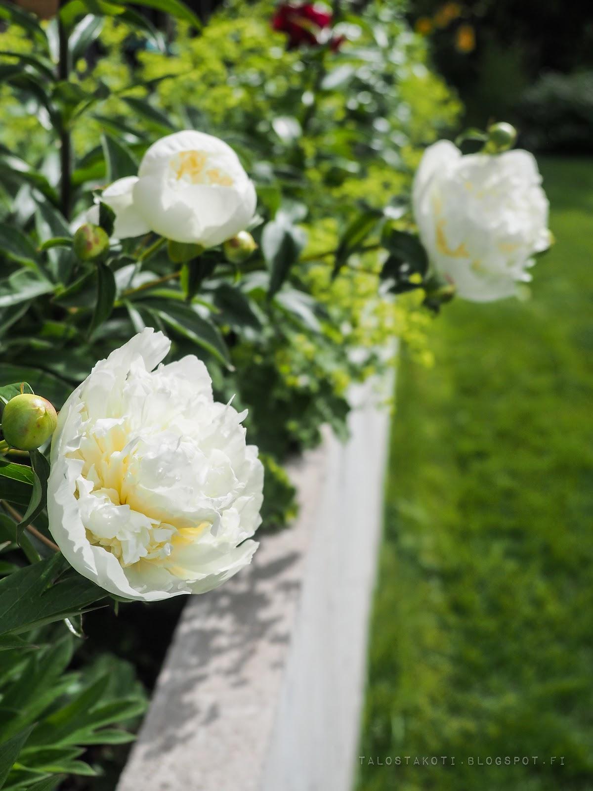 pionit, puutarha, garden