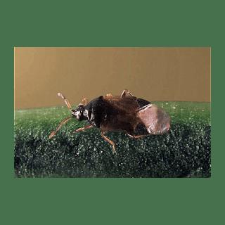 הפשפש הטורף שינקה את הצמח שלך ממפגעי חרקים מזיקים