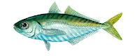 taille reglementaire chinchard poisson