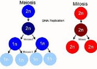 perbedaan mitosis dan meiosis dalam bentuk tabel,tabel perbedaan mitosis dan meiosis,perbedaan mitosis dan meiosis wikipedia,perbedaan mitosis dan meiosis dalam tabel,