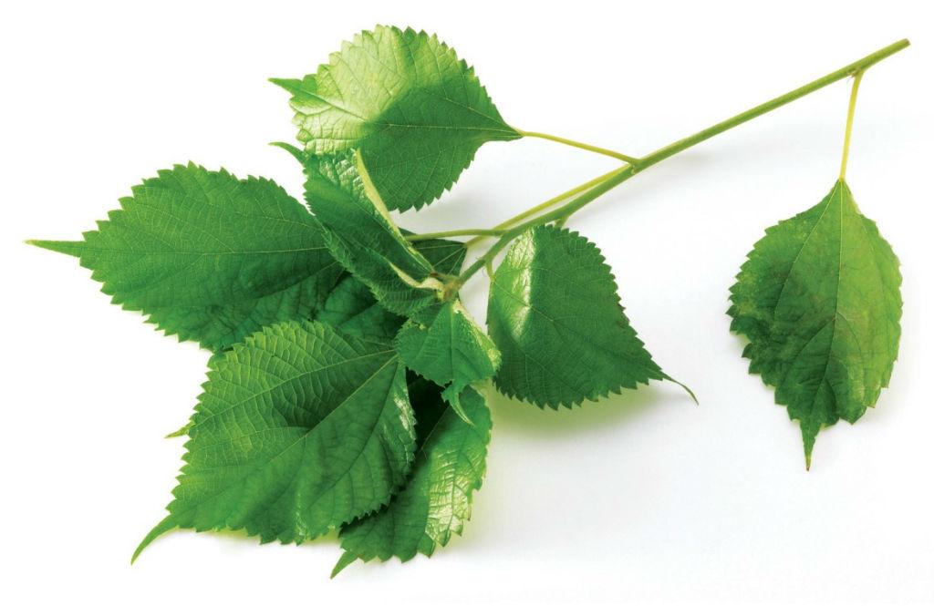 모시잎효능
