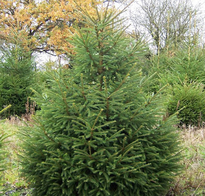 Christmas tree picea abies norway spruce picea abies norway spruce