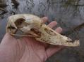 Swan Skull