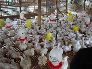 usaha ayam potong broiler mandiri