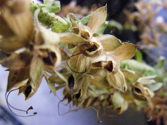 Pods of dry foxglove seeds on stem.