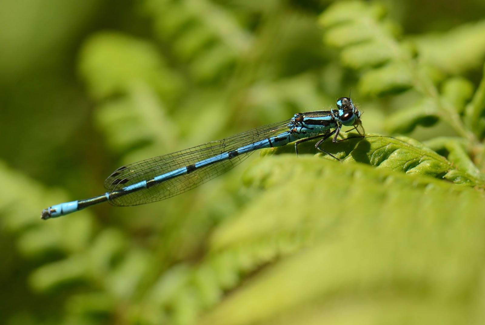 azure damsel flies fly - photo #15