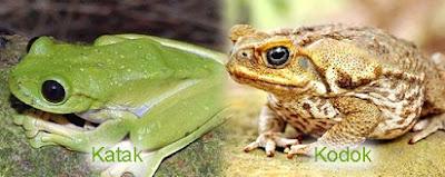 beda kodok dan katak,perbedaan katak jantan dan betina,ikan dan katak,pc dan laptop,mengapa bulu bebek tidak basah saat terkena air,bulu bebek tidak basah karena,fisik,family,